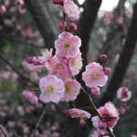 葛西臨海公園:紅梅が開き始めました
