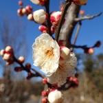 葛西臨海公園:早咲きの梅が開花しています