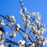 葛西臨海公園、梅が開き始めました